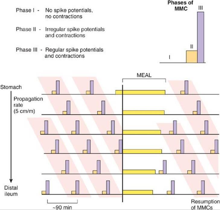 MMC - wędrujący kompleks mioelektryczny